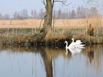 white för swans två Royaltyfria Bilder