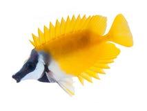 white för tabbitfish för rev för b-fisk foxface isolerad royaltyfria bilder