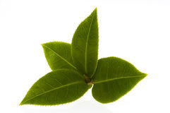 white för tea för bakgrundsfilial ny isolerad Arkivfoto
