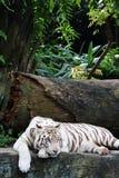 white för 7 tiger Fotografering för Bildbyråer