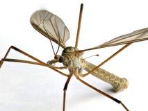 white för tipulidae för fluga för bakgrundskranfamilj Royaltyfria Bilder