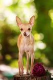 white för toy för terrier för bakgrundshundstående Arkivbilder