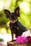 white för toy för terrier för bakgrundshundstående Royaltyfri Fotografi