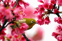 white för tree för blomningCherryöga japansk Arkivfoton