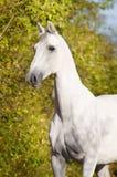 white för trotter för hästorlovstående Arkivbilder