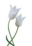 white för tulpan två Royaltyfri Fotografi