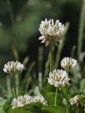 white för växt av släkten Trifoliumrepenstrifolium Royaltyfri Fotografi