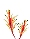 white för vattenfärg för bakgrundsfågelparadis röd Arkivbild