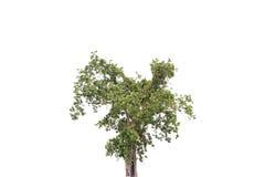 white för vektor för tree för bakgrundsillustration bild isolerad Royaltyfri Foto