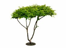 white för vektor för tree för bakgrundsillustration bild isolerad Dess buske är fullvuxen i en krukanolla royaltyfria foton
