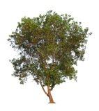 white för vektor för tree för bakgrundsillustration bild isolerad tropisk isolerad tree Royaltyfria Foton