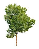 white för vektor för tree för bakgrundsillustration bild isolerad tropisk isolerad tree Arkivbilder