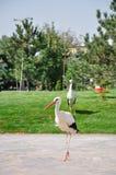 white för storks två Arkivbilder