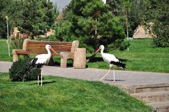 white för storks två Fotografering för Bildbyråer