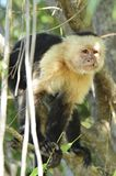White Face Hair Lip. White-headed Capuchin monkey photographed in Costa Rica stock images