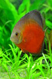 White face melon discus fish. Rare variety of the discus fish family stock image
