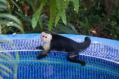 White face monkey cooling off in a pool. White face monkey dipping himself in a private pool in Manuel Antonio Costa Rica Royalty Free Stock Photos