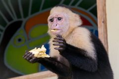 White face monkey eating a banana. In Manuel Antonio Costa Rica Royalty Free Stock Image