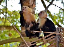 White face monkeys Royalty Free Stock Photo