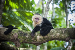 White faced baby capuchin in Costa Rica Stock Images