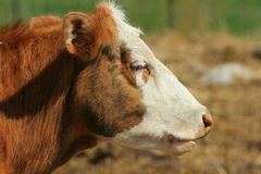White-faced beef cow Royalty Free Stock Image