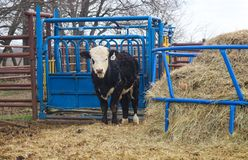 White faced black yearling cow standing in front of a loading shute and next to a round hay bale feeder stock photo