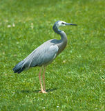 White-Faced Blue Heron Stock Photo