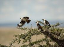White-faced buffalo-weavers in Serengeti Royalty Free Stock Photo