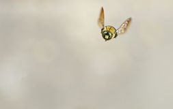 White faced Bumble Bee flying toward the camera. Royalty Free Stock Photo