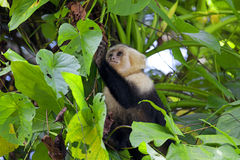 White faced Capuchin Royalty Free Stock Images