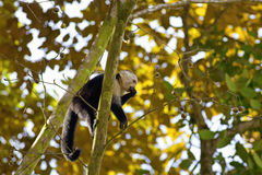 White faced Capuchin Stock Photography