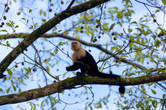 White faced Capuchin Stock Photo