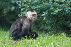 White-faced capuchin Stock Image