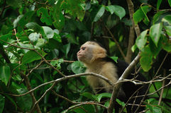 White-faced Capuchin Lizenzfreie Stockfotos