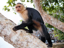 White-faced capuchin Cebus capucinus. White-faced capuchin monkey on coconut tree, national park of Cahuita, Caribbean, Costa Rica Royalty Free Stock Photo