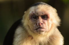 White-faced capuchin (Cebus capucinus) Stock Photo