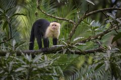 White-faced Capuchin - Cebus capucinus. Beautiful bronw white faces primate from Costa Rica forest Royalty Free Stock Image