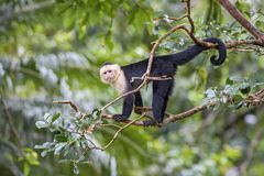 White-faced Capuchin - Cebus capucinus. Beautiful bronw white faces primate from Costa Rica forest Stock Image