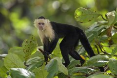 White-faced Capuchin - Cebus capucinus. Beautiful bronw white faces primate from Costa Rica forest royalty free stock photos