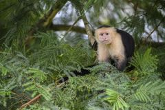 White-faced Capuchin - Cebus capucinus. Beautiful bronw white faces primate from Costa Rica forest Royalty Free Stock Images