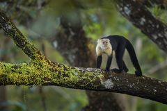 White-faced Capuchin - Cebus capucinus. Beautiful bronw white faces primate from Costa Rica forest Royalty Free Stock Photo