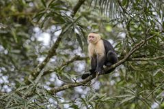 White-faced Capuchin - Cebus capucinus. Beautiful bronw white faces primate from Costa Rica forest Stock Photo