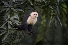 White-faced Capuchin - Cebus capucinus. Beautiful bronw white faces primate from Costa Rica forest stock photos