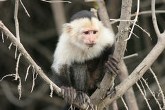 White-faced Capuchin - Costa Rica Lizenzfreie Stockfotos