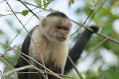 White-faced capuchin - Costa Rica Stock Image