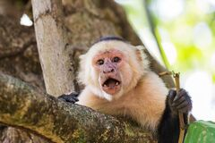 Free White Faced Capuchin Holding A Stick Stock Images - 182386164