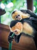 White faced capuchin and baby  close up Royalty Free Stock Photos