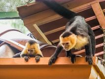 White faced capuchin and baby  on the roof Royalty Free Stock Photos