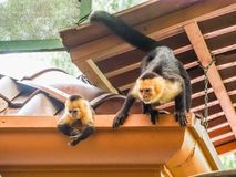 White faced capuchin and baby  on the roof Royalty Free Stock Photo