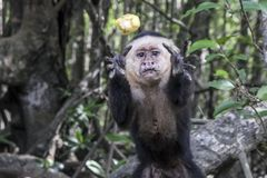 A Costa Rican Monkey catches fruit. A White-Faced Capuchin monkey catches a piece of fruit thrown to him by a tourist near Quepos, Costa Rica, June 2017 Royalty Free Stock Photo